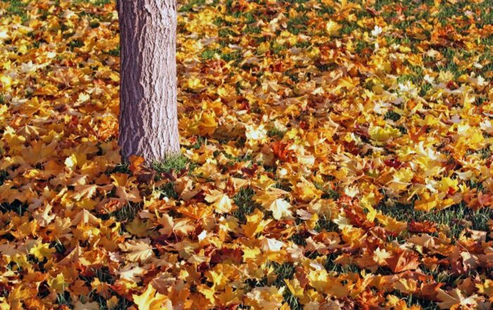 Pretty Fall Leaves On A Lawn
