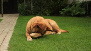 image shows a dog relaxing on the green grass